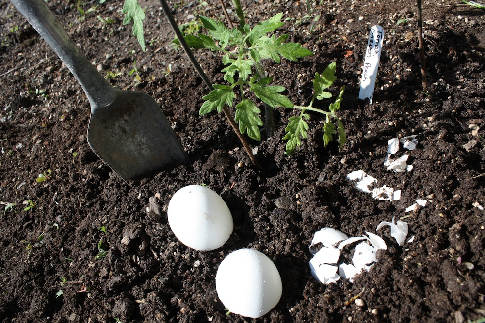 add eggshells to the soil around your tomatoes